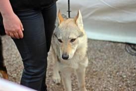 expo-canine-vittel (6)