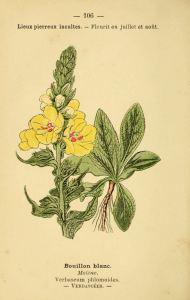 Bouillon-blanc, planche botanique