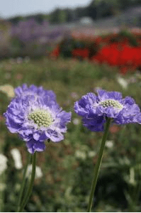 "Scabieuse bleue (Scabiosa caucasica, ""Perfection blue"")©Chiltern Seeds"