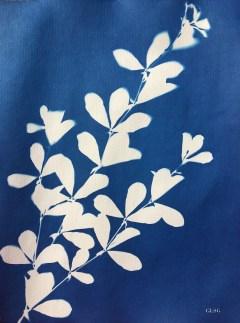 Baptisia australis (Baptisia, Fabaceae) cyanotype, 24x32cm ©GLSG