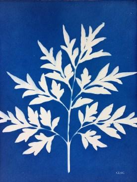 Cosmos, feuillages (Cosmos bipinnatus, Asteraceae) cyanotype, 24x32cm ©GLSG