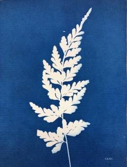 Fougère 2 (Filicophyta) cyanotype, 15x11cm, coll. particulière ©GLSG