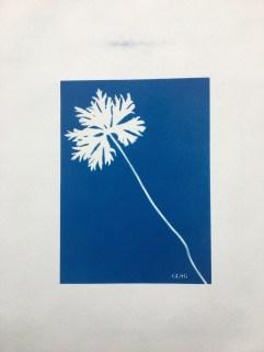 Géranium 'Johnson's Blue', feuille (Geraniaceae) cyanotype à bord blanc, 24x32cm ©GLSG