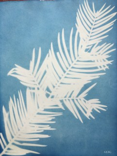 Pin japonais à queue de vache (Cephalotaxus harringtonia, Cephalotaxaceae) cyanotype, 24x32cm ©GLSG
