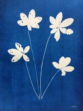 Potentille (Potentilla reptans, Rosaceae) cyanotype, 24x32cm ©GLSG
