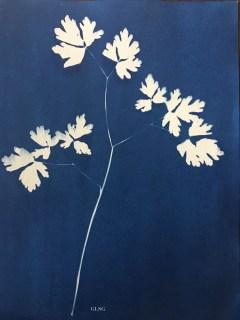 Ancolie, feuille (Aquilegia vulgaris, Ranunculaceae), cyanotype, 15x20cm ©GLSG