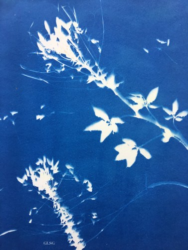 Cléomes (Cleome spinosa, Capparaceae) cyanotype, 24x32cm ©GLSG