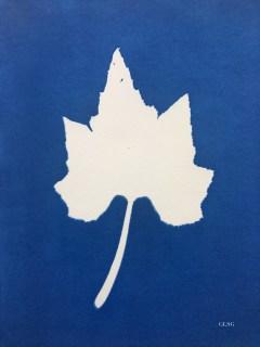 Courgette, feuille (Cucurbita pepo, Cucurbitaceae) cyanotype, 24x32cm ©GLSG