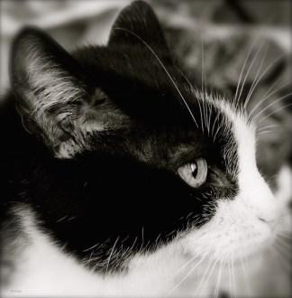 """""""Dieu a inventé le chat pour que l'homme ait un tigre à caresser chez lui."""" (Victor Hugo)"""