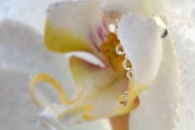 perles-d'orchidee-2