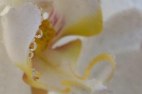 perles-d'orchidee-3-c