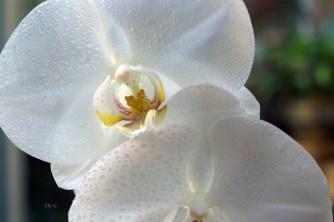 perles-d'orchidee-5