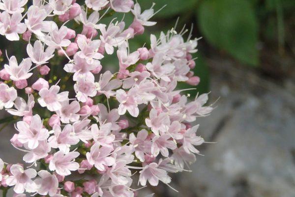 Flores Lago Sorapis