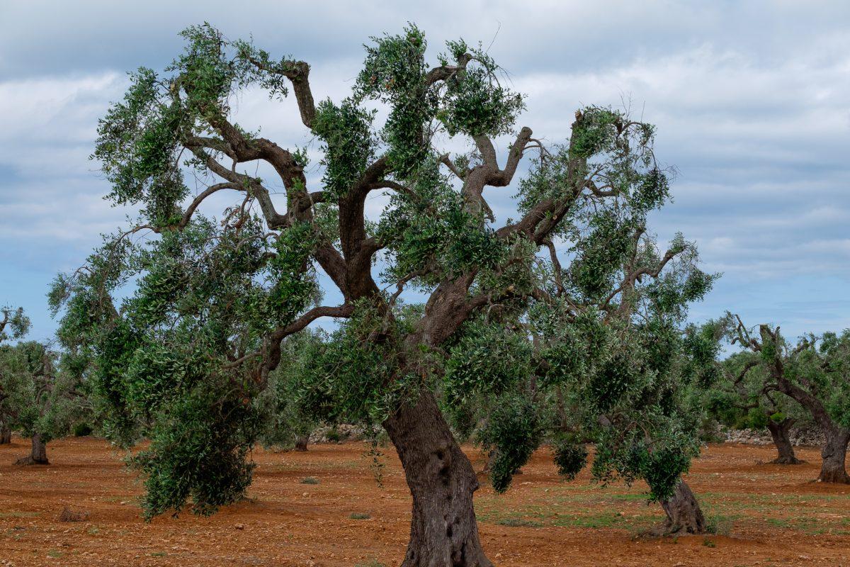árbol olivo