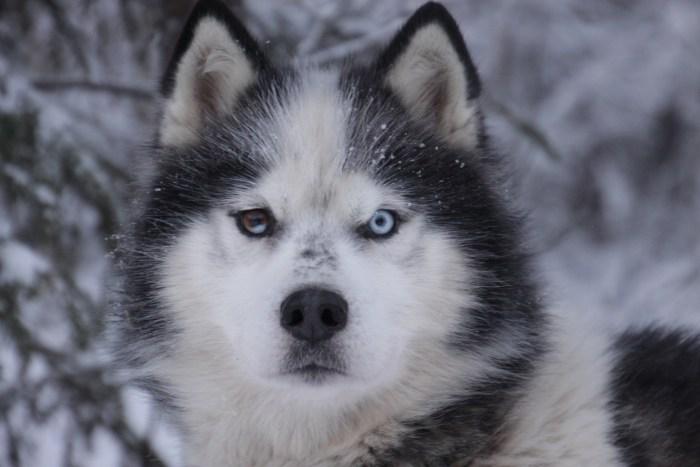 Kiliane, chien de traineau