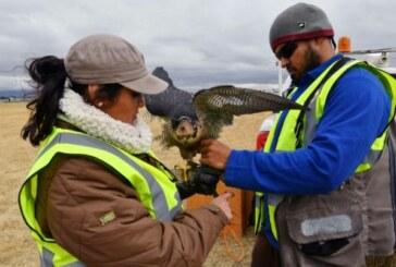 Sur l'aéroport de Mexico, des faucons pèlerins veillent à la sécurité des vols ! (Video)