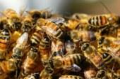 Des millions d'abeilles mortes au Mexique selon l'UNAM !