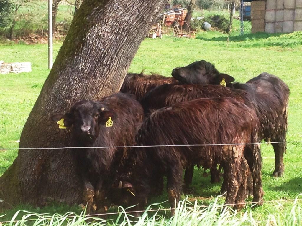 Bufflonne Ciociaria