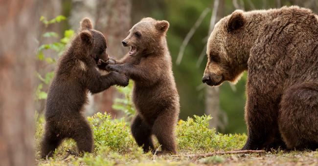 brwon bear italy