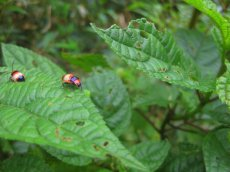 The original beetle
