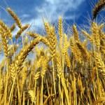 C'è meno grano, ma i prezzi soddisfano i produttori