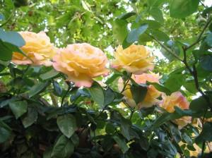 rose-gialle-300×224