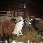 Meno fucili, più cani pastori per tenere lontani i lupi