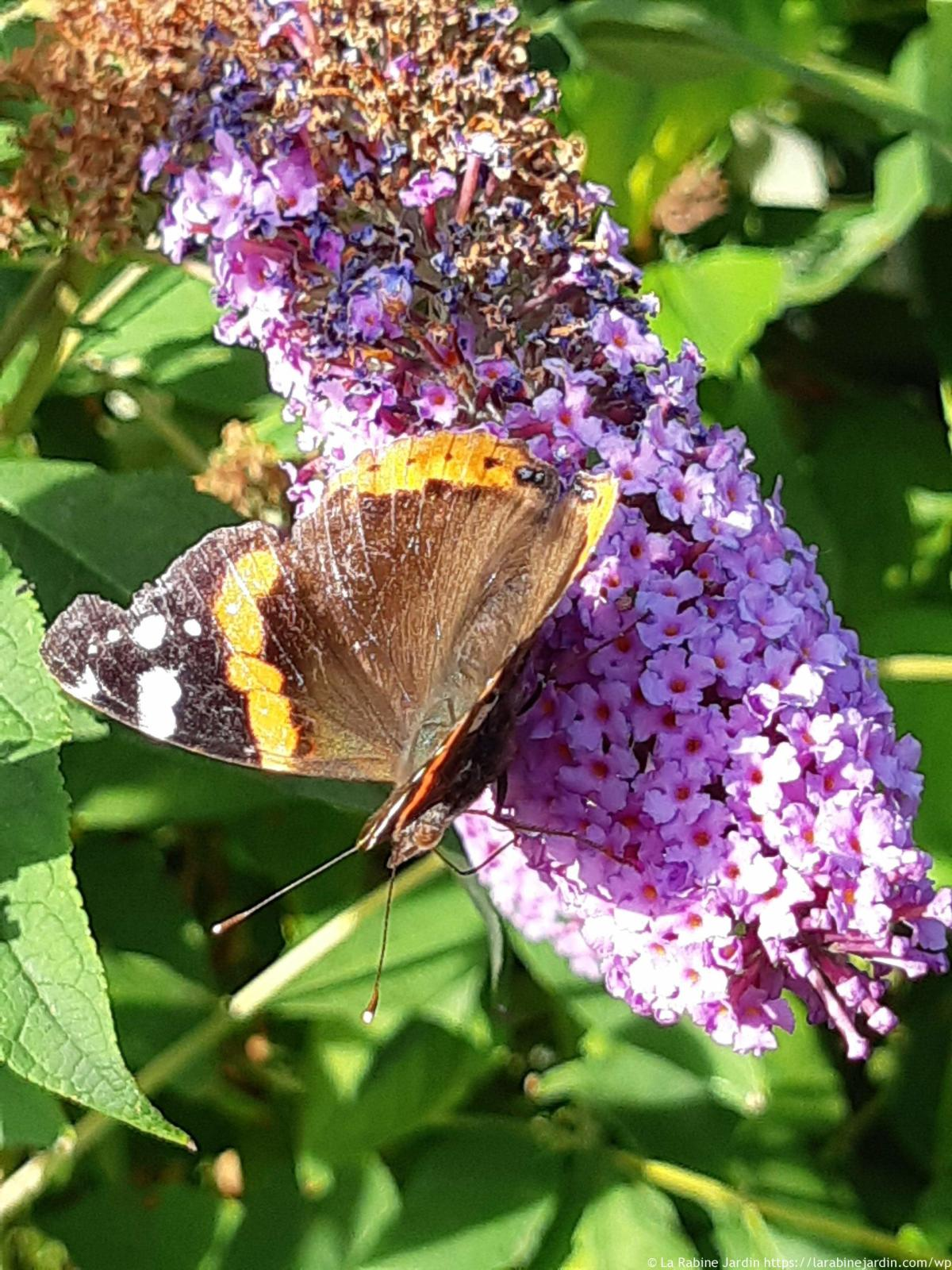 Buddleia with Red Admiral butterfly