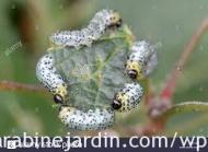 Gooseberry sawfly caterpillar_la chenille de la tenthrède de groseillier à maquereau