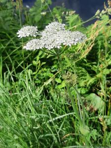 Berce du Caucase - Giant hogweed (6)