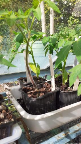 Plantes de tomates_Tomato plants (1)