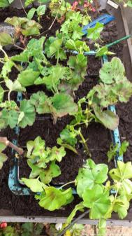 Propagating geraniums 12