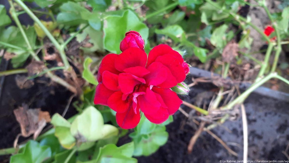 Propagating geraniums
