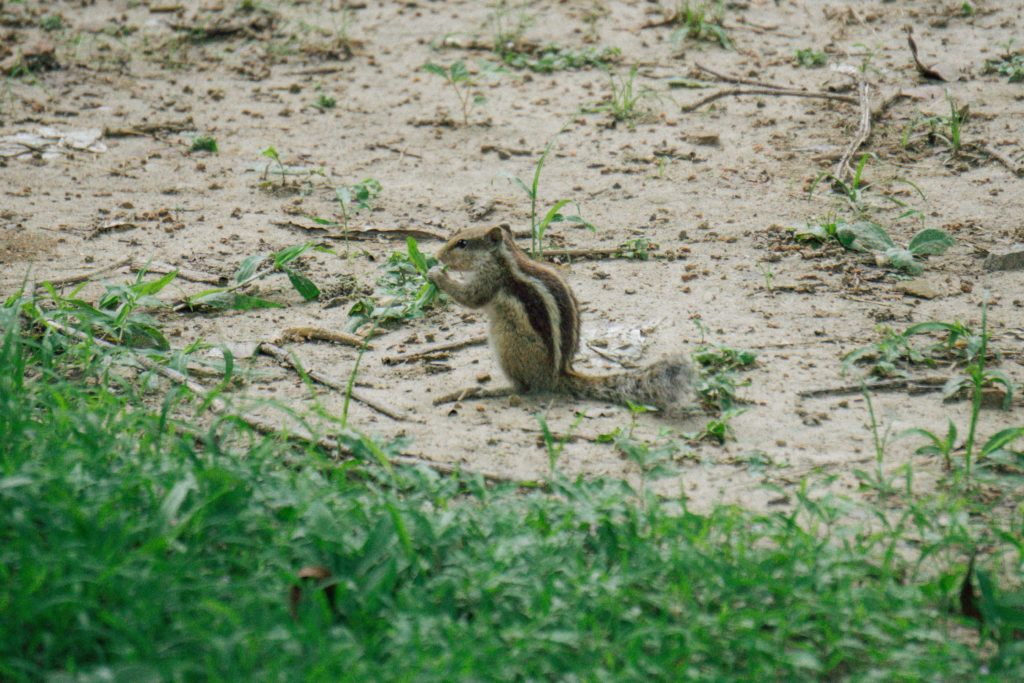 The 3 (or 5) striped Indian Palm Squirrel.
