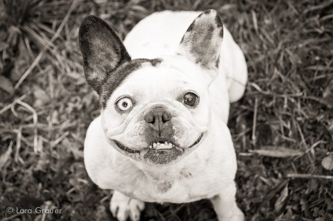 Original+French+Bulldog+Photo