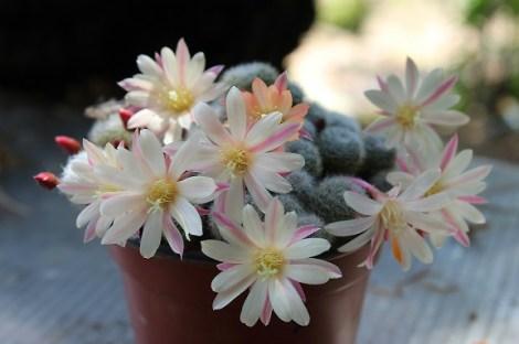 cacti flower (4)