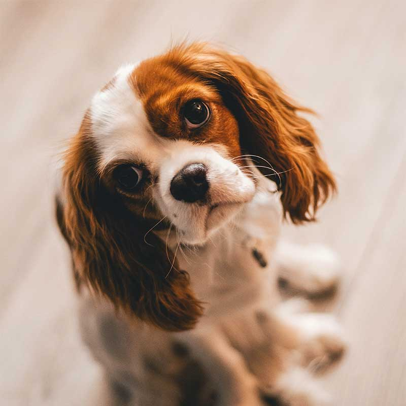 Cavalier brown and white puppy looking up