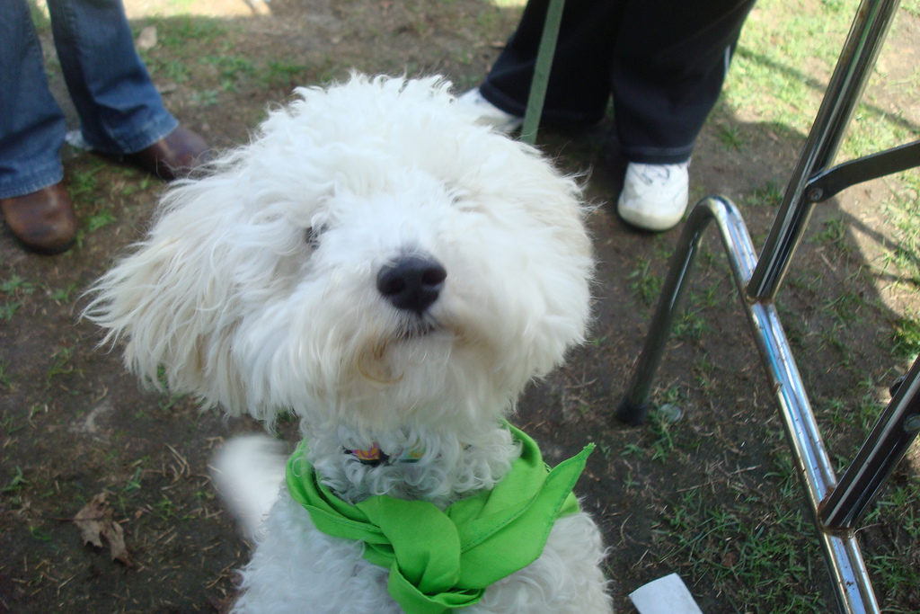 Scruffy poddle dog in the park