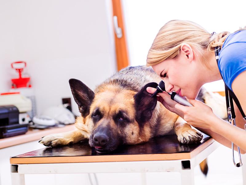 Larchmont Animal Hospital veterinarian looking at German Sheppard ears