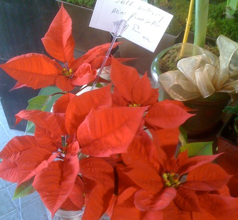 Mini Poinsettias at Larchmont Village Florist