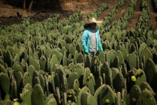 Desarrolla mexicana plástico biodegradable con jugo de nopal