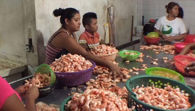 Desalentador panorama para despicadoras de camarón