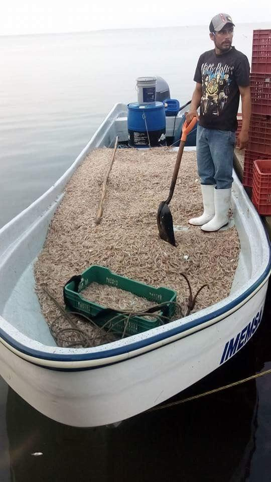 A la baja producción de camarón en la laguna