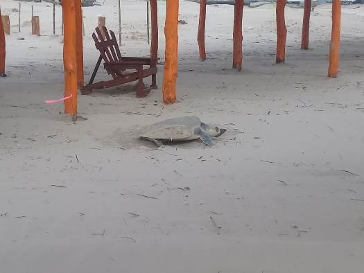 Vigilará municipio llegada de la Tortuga Lora a Miramar