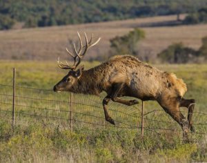 A bull elk jumping a barbed wire fence