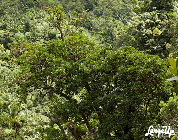 Richeria Grandis tree
