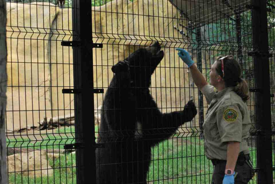 Eleanor the bear is getting treats while trainer checks to make sure she is strong healthy and safe. (Betsy Johnson/Photo Editor)