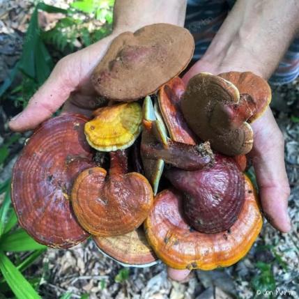 Il fungo reishi uno dei superfood buoni