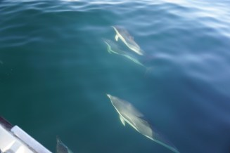 Dolphins - easy to see in the calm water!