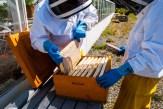 Innan ramarna tas in i slungningsrummet kontrolleras de en sista gång så att inga eftersläntande bin finns kvar. Om så ett enda bi får nys om var honungen finns, flyger hon tillbaka till kupan och berättar för de andra var de kan hämta tillbaka honungen. Foto Johanne Pernklint